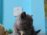 自家繁殖纯种猫中心 英短、蓝白、美短、蓝猫可爱至极