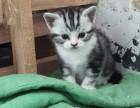 美短小猫出售