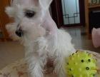 **一家经过犬业协会确认犬舍 雪纳瑞可签订协议