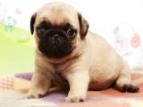 纯种的八哥犬多少钱 宠物店的狗靠谱吗