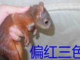 【紫涵家魔王松鼠专卖五年】黑魔,三色,棕红,极品红
