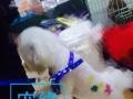 宠物美容模特犬