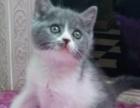 蓝白猫妹妹找新家喽