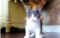 低价出售美短猫一窝,高品质英短蓝白 重点色可上门
