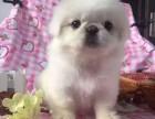 银川 出售2到4个月京巴犬 包健康纯种!
