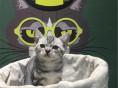 三亚哪里出售纯种美国虎斑短毛猫纯种美国虎斑短毛猫多少钱一只