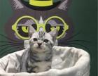 武汉哪里出售纯种美国虎斑短毛猫纯种美国虎斑短毛猫多少钱一只