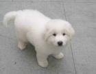 自家大狗生的一窝大白熊可以来家里看大狗品相