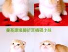 自家繁育的曼基康短毛猫