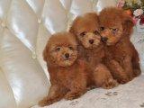 高品质双血统泰迪犬哪里可以买到好一点的