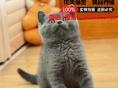 英短蓝猫 宠物猫活体 英国短毛猫