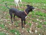 绵阳格力犬养殖场 绵阳格力犬价格 杜高犬猎犬价格