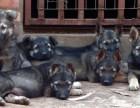 景洪卖昆明犬景洪买纯种昆明犬景洪狗场出售纯种昆明犬