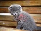 兰州买卖宠物地方 兰州哪里卖健康蓝猫价格便宜