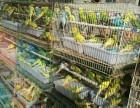 江西旺仔养殖场批发零售品质优良观赏鹦鹉
