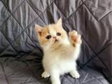 湖南长沙双血统净梵加菲猫低价出售