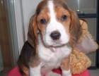 福州哪有比格犬卖 福州比格犬价格 福州比格犬多少钱