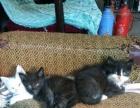 自家养的猫咪转让