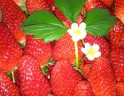 草莓采摘(尝过就知道 无公害草莓的味道)!