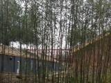 较适合栽在院子别墅庭院种植竹子品种早园竹金镶玉竹子