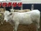 兴牧肉牛价格全国较低质量保证送货上门先货后款