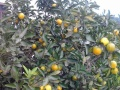 柑桔联系|柑桔代办|柑桔代购|柑橘代办|柑橘代