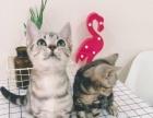 家庭繁育美国短毛猫