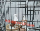 肉鸽种鸽养殖场鸽子养殖场种鸽价格