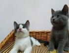 家养小包子英短蓝猫出售