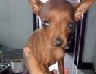 小鹿犬出售纯种幼犬,棕色黑色小鹿迷你型,武汉特价