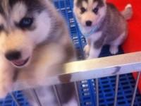 贵阳出售哈士奇幼犬活体双血统三把火蓝眼哈士奇赛级宠物狗狗