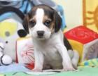 广州纯种血统比格幼犬出售 比格小猎犬 比格犬实拍 宠物狗狗