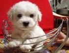 台州本地犬舍出售精品比熊犬包纯包健康