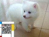 纯种银狐幼犬 保健康 可视频看狗