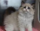 上海双血统精品 布偶猫 咪幼崽布偶 可以送货上门