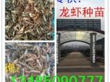 上海小龙虾苗价格上海哪里有龙虾苗上海龙虾苗多少钱一斤