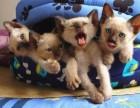 出售极品暹罗猫/黑耳/蓝眼/蓝重点/泰国猫/虎斑/包纯种健康