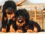 郑州哪有藏獒犬卖 郑州藏獒犬价格 郑州藏獒犬多少钱