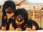 福州哪有藏獒犬卖 福州藏獒犬价格 福州藏獒犬多少钱