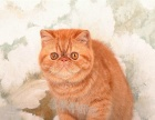 出售纯种加菲猫 异国短毛猫 黄白 红虎斑 净樊幼