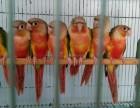 小太陽鸚鵡金剛鸚鵡灰鸚鵡亞歷山大鸚鵡吸蜜葵花鸚鵡亞馬遜
