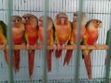 本地出售观赏鸟专业繁殖