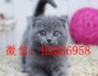 猫舍出售纯种英短蓝猫短毛猫美短加白加菲猫支持上门