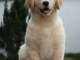 佛山实体养殖场 纯种金毛犬价格 多窝出售品质保障 可送货