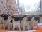 浦东哪里有巴哥犬卖 浦东巴哥犬价格 浦东巴哥犬多少钱