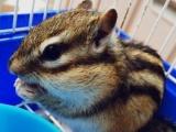 出售金花松鼠一只