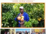 进口货源南非红宝石西柚34斤金豹牌广州江南市场
