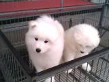 純種薩摩耶幼犬 包健康好養.購買簽協議.疫苗齊