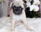 纯种巴哥幼犬 专业繁育 健康品质保障 可签协议