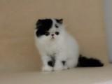 本地出售猫中贵族波斯猫,可上门,包建康,签协议